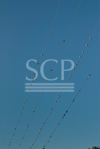 Parana State, Brazil. birds sitting on electricity cables.