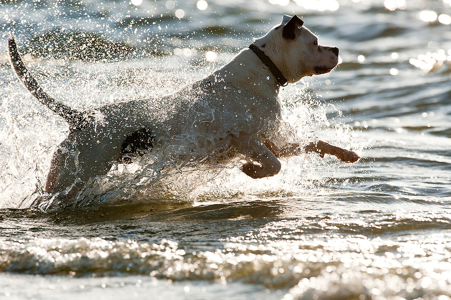Zuzu, an American bulldog, takes a swim in Lake Mendota and retrieves a large stick thrown by her owner, Phil Busse, as the two play at James Madison Park in Madison, Wis., during autumn on Sept. 30, 2010.