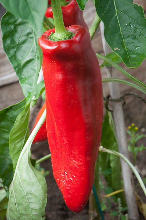 Pepper 'Thor', mid September. A red, grafted variety.
