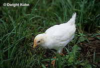 DG13-015z  Chicken - immature White Leghorn