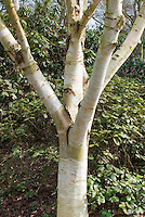 Betula utilis var.jacquemontii birch tree trunk bark
