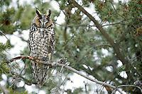 Long-eared Owl (Asio otus wilsonianus)