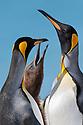 King Penguins (Mirounga leonina), male and femlae feeding chick. Gold Harbour, South Georgia. November.