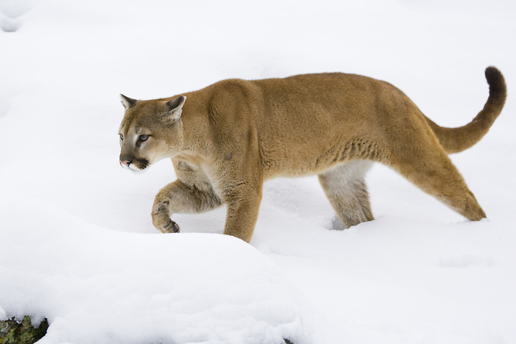 Puma prowling through the snow - CA