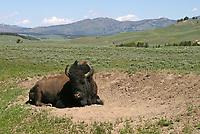 A bull bison rests in Hayden Valley.