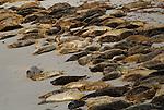 Harbor seals near Monterey Bay Aquarium