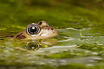 Common Frog (Rana temporaria) peering out of weed covered water, West Midlands