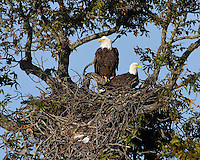Adult Bald Eagle pair on nest from previous year, before beginning rebuilding. November 8, 2004.