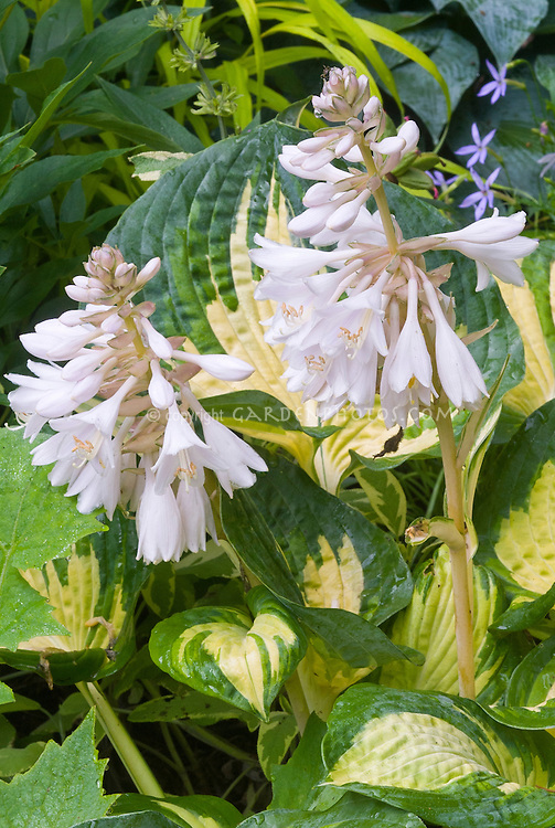 Hosta Great Expectations with yellow center in bloom
