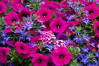 'Night in Pompeii' flowering container mix with petunia, diascia, and lobelia