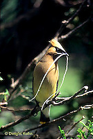 WX01-014x  Cedar Waxwing - adult with nesting material - Bombycilla cedrorum