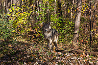 Gray wolf camouflaged in the shadows of the northern forest.