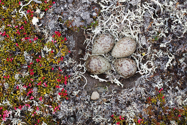 Red Knot (Calidris canutus rogersi) eggs in the process of hatching.  Chukotka, Russia. June.