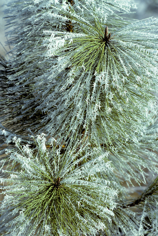Hoarfrost on Ponderosa Pine. Near Elmira, Oregon.