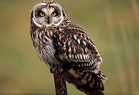Short-eared Owl perched in western Washington