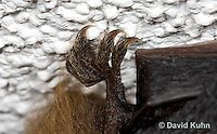 0411-1015  Little Brown Bat Rear Foot (syn. Little Brown Myotis), Myotis lucifugus  © David Kuhn/Dwight Kuhn Photography.