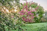 Apple blossoms at the Arnold Arboretum, Boston, Massachusetts, USA
