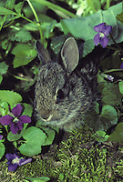 Baby rabbit in violets at forest edge hiding and peeking out