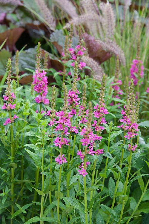 "Lythrum salicaria 'Robert' (Loosestrife). Environment Garden section of ""Urban Oasis"" show garden, designed by Chris Beardshaw, Hampton Court Flower Show 2012."