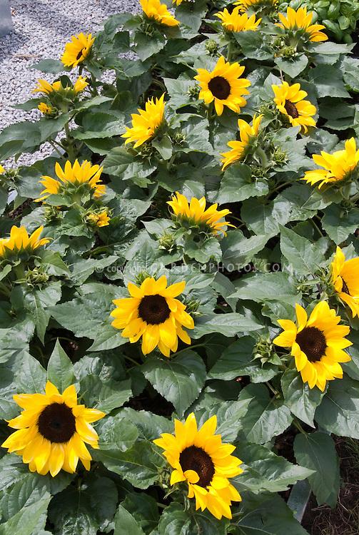 Dwarf Sunflowers Helianthus annuus