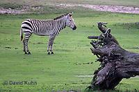 0209-08ww  Hartman's Mountain Zebra, Equus zebra hartmannae © David Kuhn/Dwight Kuhn Photography