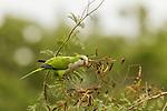 Monk Parakeet (Myiopsitta monachus) feeding on seeds, Ibera Provincial Reserve, Ibera Wetlands, Argentina