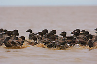 Flock of molting Brant (Branta bernicla). During this vulnerable period in their life-cycle, they are unable to fly. Teshekpuk Lake Special Area, Alaska. July.