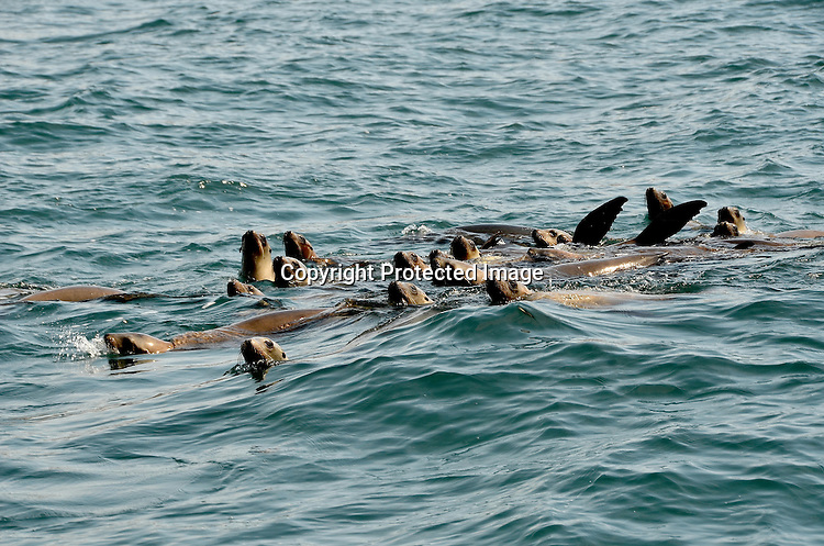 Stock photo of California Sea Lions