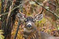 Coastal Black-tailed Deer Buck or Columbian black-tailed deer buck (Odocoileus hemionus columbianus).  Late Fall, Pacific Northwest