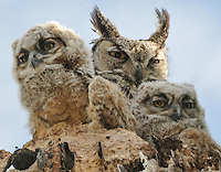 HORNED OWL BABY