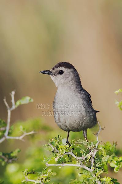 Gray Catbird, Dumetella carolinensis, adult, South Padre Island, Texas, USA