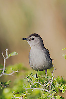Gray Catbird, Dumetella carolinensis, adult, South Padre Island, Texas, USA