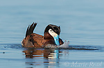 "Ruddy Duck (Oxyura jamaicensis) male performing courtship display (""bubble display""), Bowdoin National Wildlife Refuge, Montana, USA"