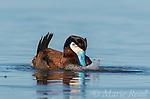 "Ruddy Duck (Oxyura jamaicensis) male performing courtship display (""bubble display""), Bowdoin National Wildlife Refuge, Montana, USA"