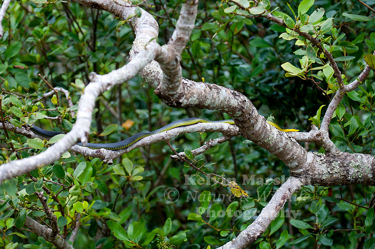 Common tree snake Dendrelaphis punctulata (also called green tree snake and Australian tree snake) is a slender, large-eyed, non-venomous, diurnal snake of many parts of Australia, especially in the northern and eastern coastal areas, and into Papua New Guinea.