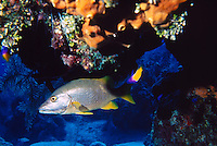 SCHOOL MASTER SNAPPER UNDER LEDGE<br /> Snapper in Coral Reef<br /> The Schoolmaster Snapper is found from Massachusetts to Brazil, and dwells close to the ocean floor at depths between 10 and 90 feet.