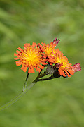 Orange Hawkweed- Hieracium aurantiacum- in a New England forest during the summer months..Orange Hawkweed is part of the Aster family