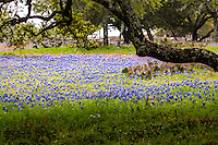 The &quot;famous&quot; Willow City Loop! This is THE iconic Texas Hill Country scenic drive! The narrow two-lane Ranch Road winds for 13 miles through some of the oldest and most unique geology in central Texas. <br /> <br /> Wildflowers in the Texas Hill Country near Fredericksburg Texas. Bluebonnets, the official Texas state flower, blanket large portions of the state in early spring. Their peak blooming season is in late March and early April. Bluebonnets depend on abundant winter rains and warm spring weather.