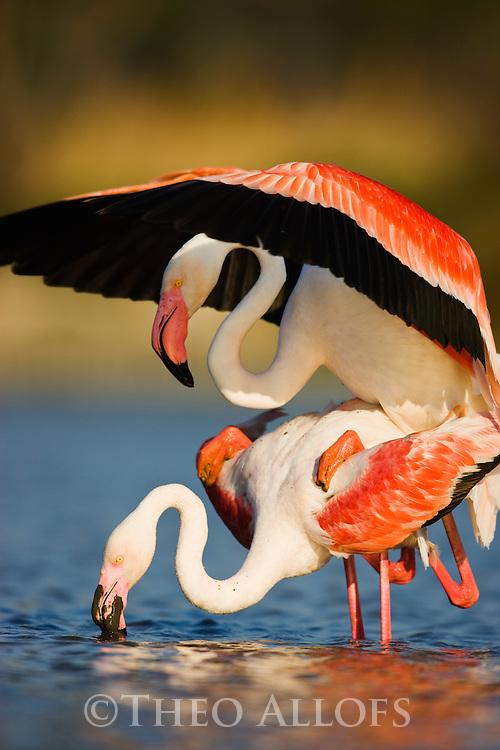 Greater Flamingos (Phoenicopterus roseus) in lagoon, mating, Pont Du Gau, Camargue, France