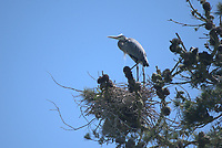 Great Blue Heron (Ardea herodias), Golden Gate Park, San Francisco, California, US