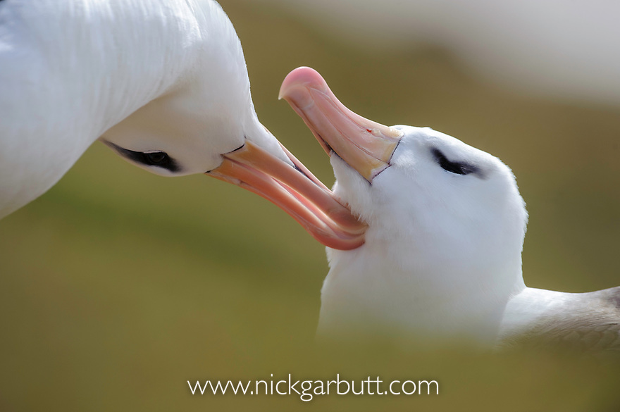 Pair of black-browed albatross (Thalassarche melanophrys) greeting one another - courtship. Bay of Isles, South Atlantic. January.