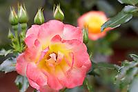 Hardolly Rose. Heirloom Gardens. Oregon