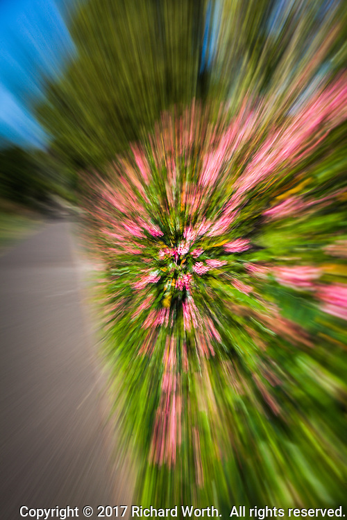 A hedge of pink flowers and green leaves is turned into an exploding abstract through in-camera slow shutter and zoom.