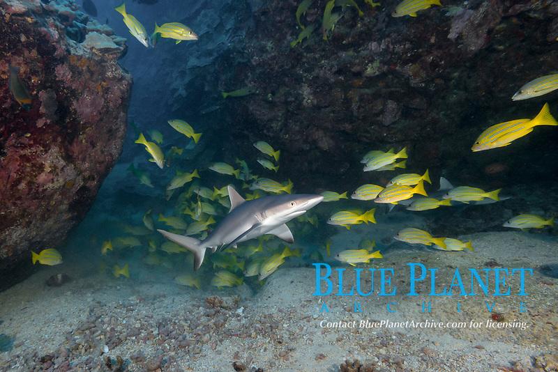 juvenile gray reef shark, Carcharhinus amblyrhynchos, and bluestripe snapper or taape, Lutjanus kasmira, Mahaiula, Kona Coast, Big Island, Hawaii, USA, Pacific Ocean