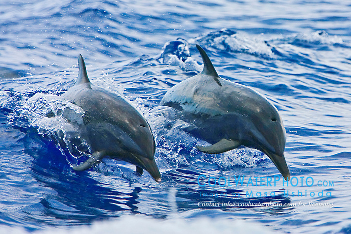 Pantropical Spotted Dolphins, Stenella attenuata, jumping out of boat wake, off Kona Coast, Big Island, Hawaii, Pacific Ocean.