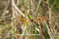 06612-00110 Golden-winged Skimmer dragonfly (Libellula auripennis) male perched near wetland, Marion Co., IL