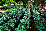 Young coffe plants on a coffee farm in western El Salvador.