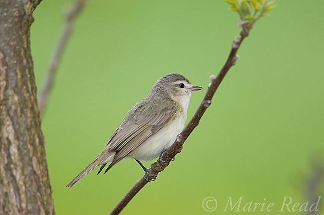 Warbling Vireo (Vireo gilvus), in spring, New York, USA