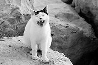 """Black and white stock image of cat yawning.<br /> <br /> View the gallery - """"Wildlife"""" for the color version of this image."""