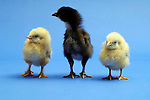 Two yellow chicks and one black chick stand side by side. Royalty Free